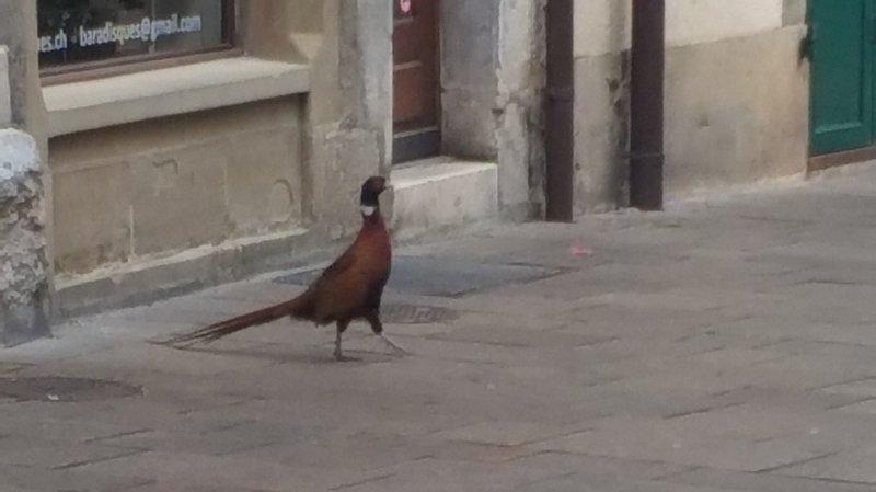 Nyon: un faisan échappe aux fusils et atterrit en ville