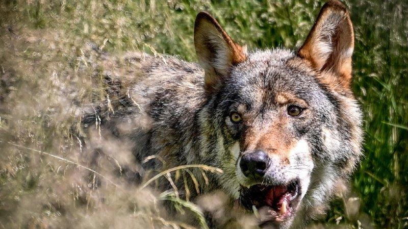 Nouvelle loi sur la chasse: le loup dans la ligne de mire des votations du 27 septembre