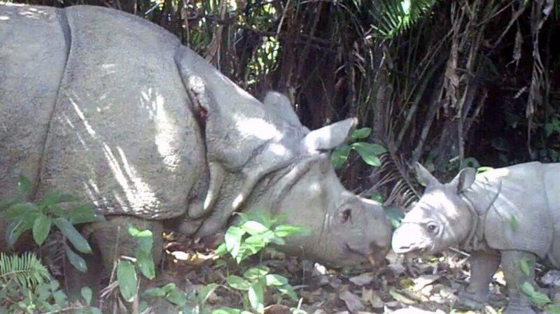 Après des années de déclin de la population, la naissance de ces deux petits porte la population totale de l'espèce à 74 individus.