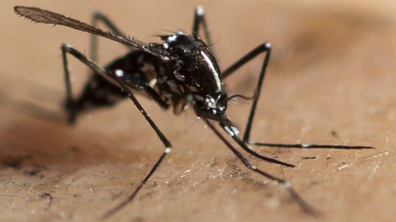 Santé: pas de virus dangereux dans les moustiques-tigres tessinois