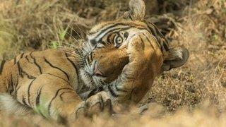 Jagdeep Rajput Tiger